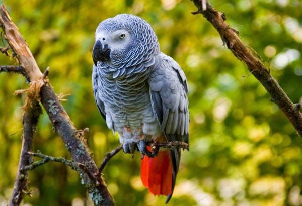 Жако (African Grey Parrot)